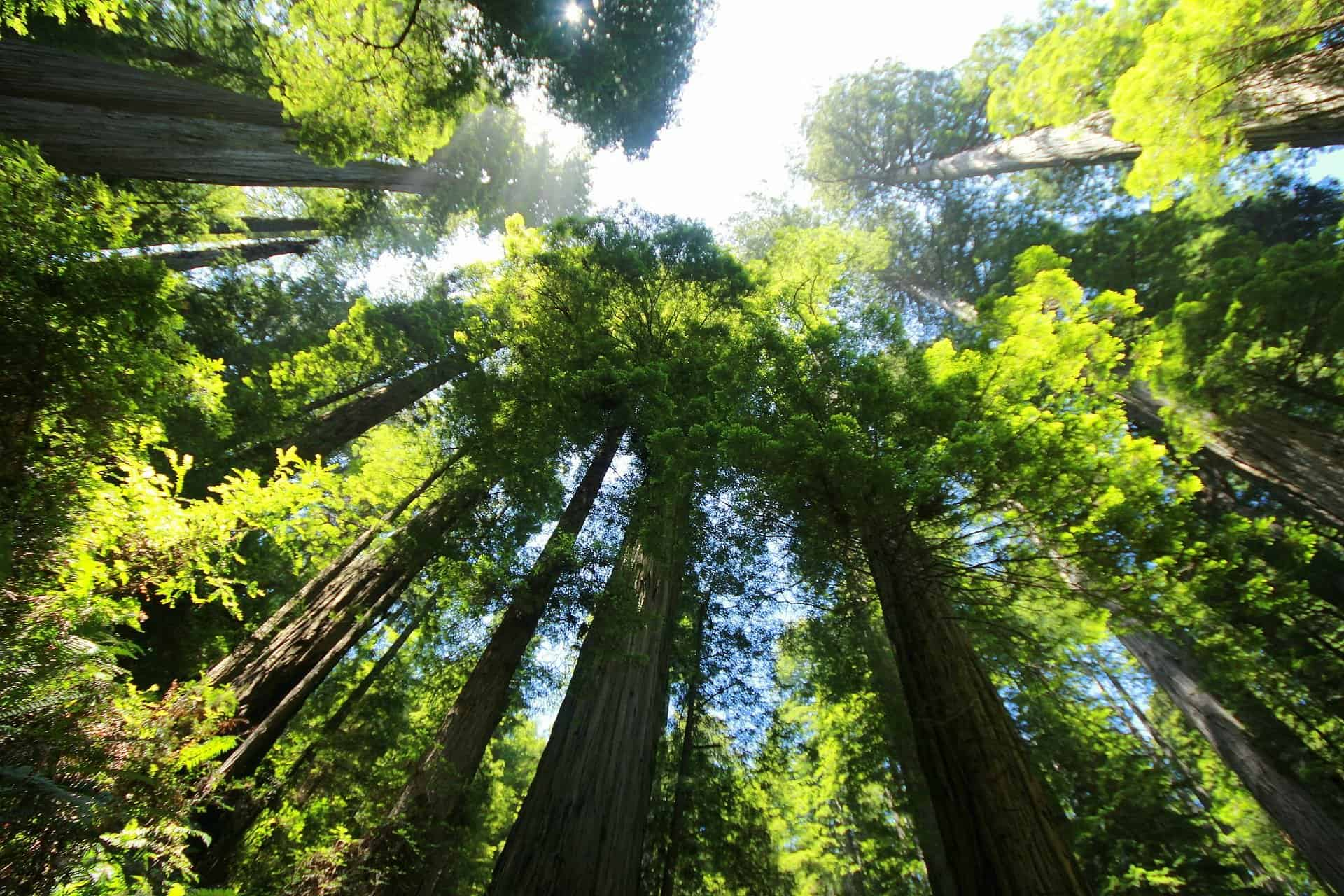 Biggest Trees: 5 World's Natural Skycraping Superstars To Exist