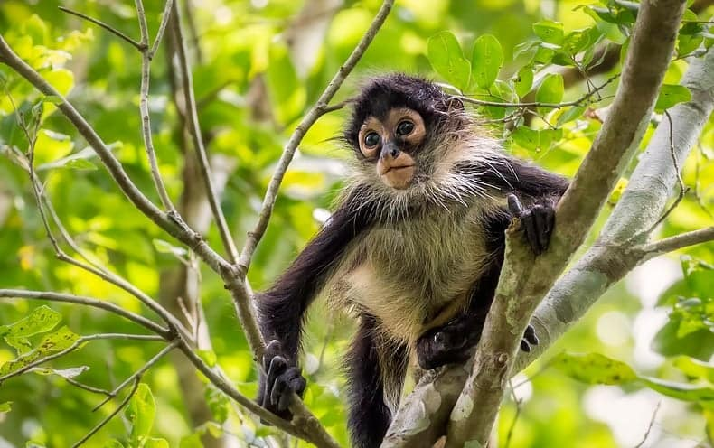 important spider monkey facts for students