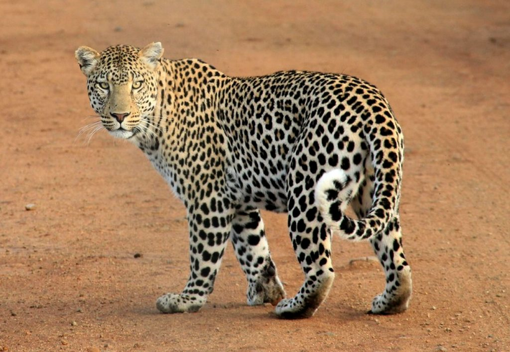 A leopard standing on a dirt road